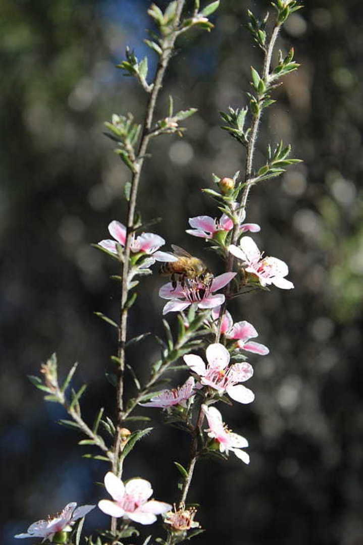 Manuka Tree - native Tea Tree with high UMF