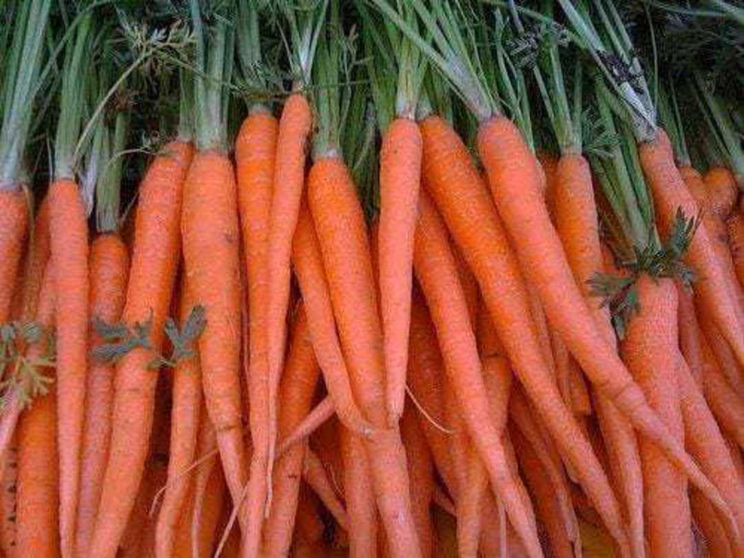 Organic Carrot Tendersweet - large harvest of thin, tapered orange carrots