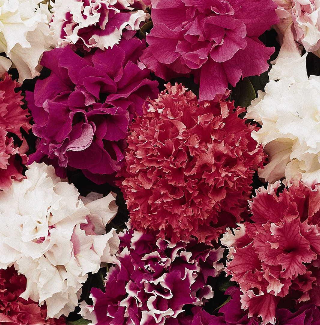 Petunia Grandiflora Mix -  Huge 13cm blooms on compact plants