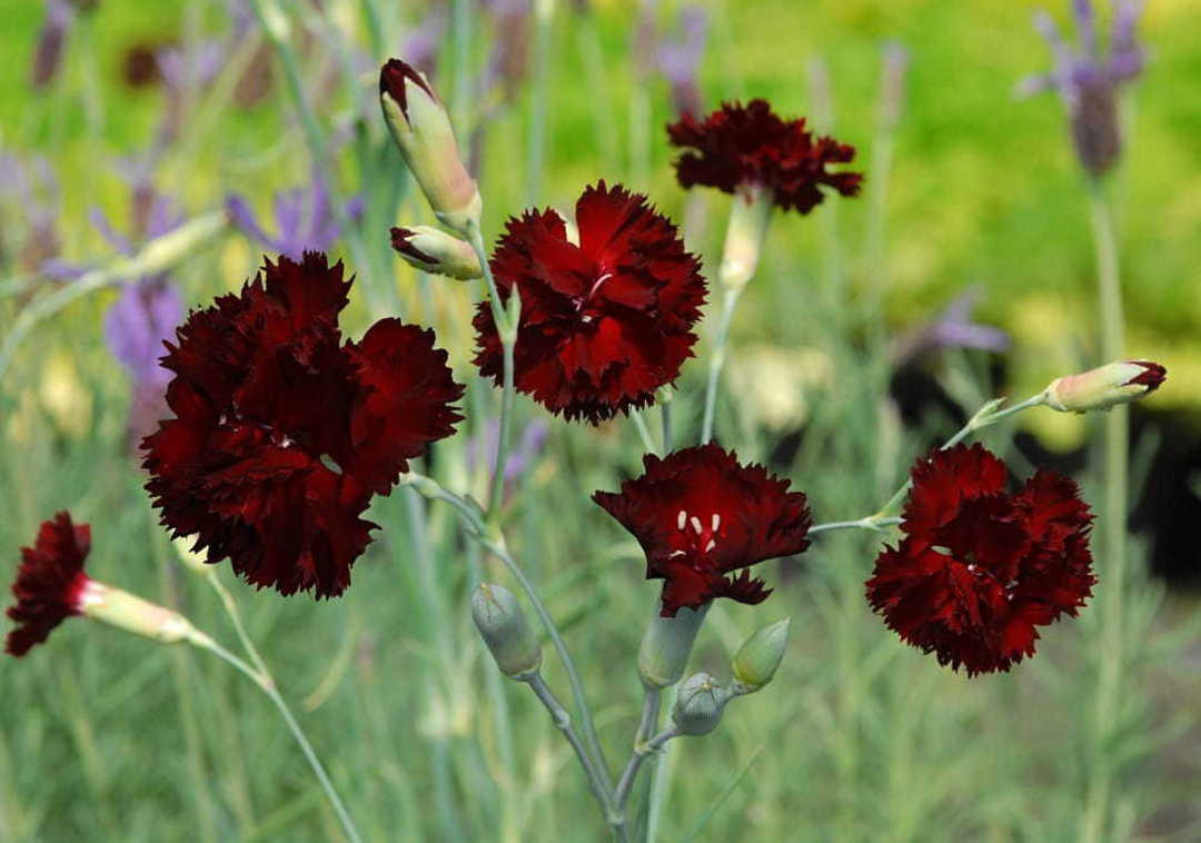 Dianthus King of the Blacks - Deep Rich Purple