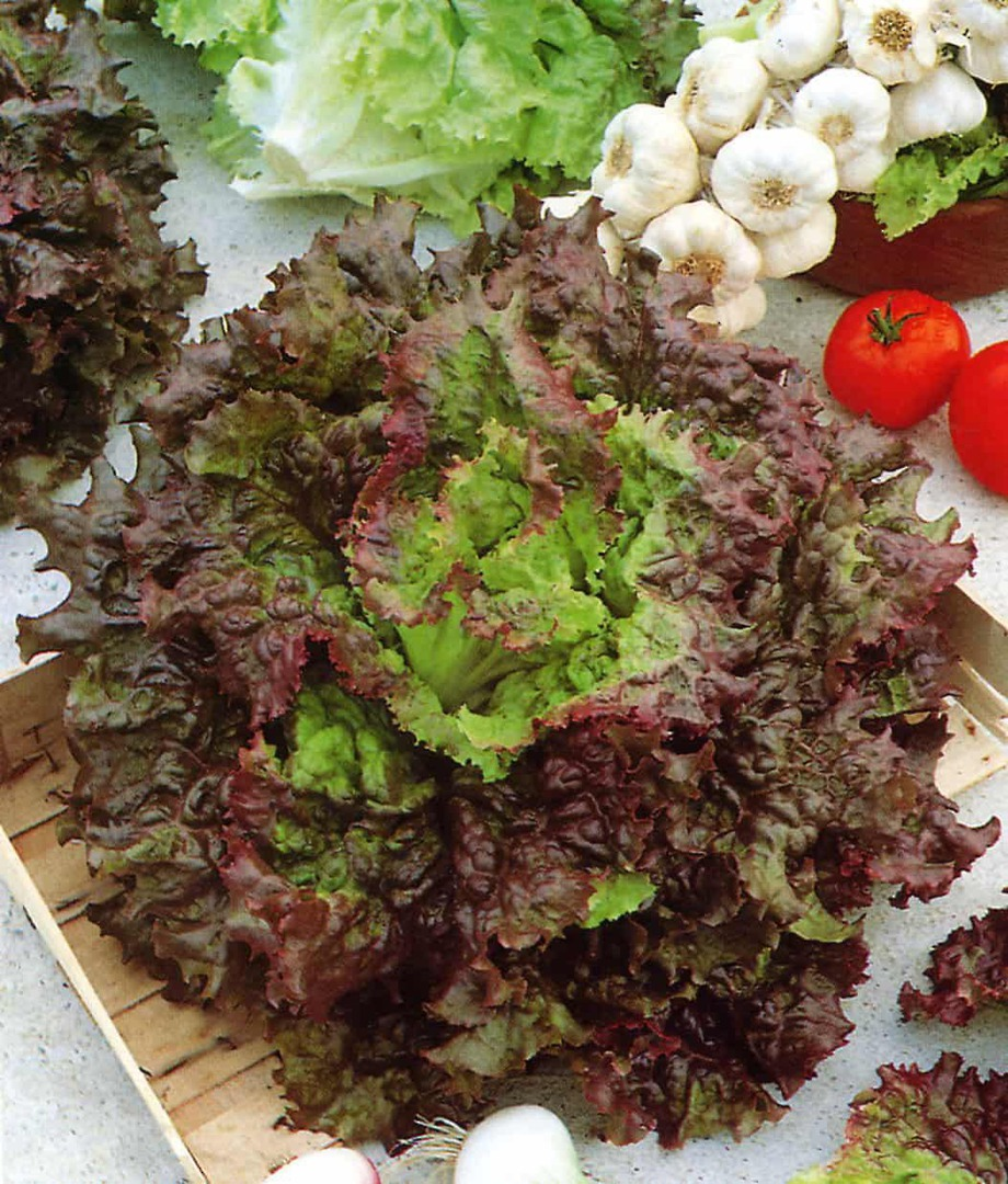 Lettuce Drunken Woman Fringed Head - Bright leaves with frizzy bronze edges