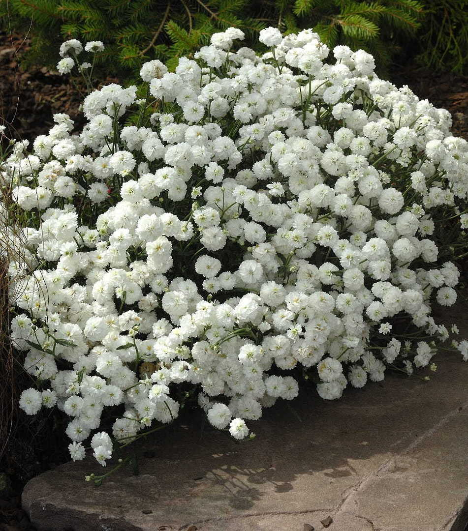 Achillea Double Pearl - elegant clusters of cool white flowers