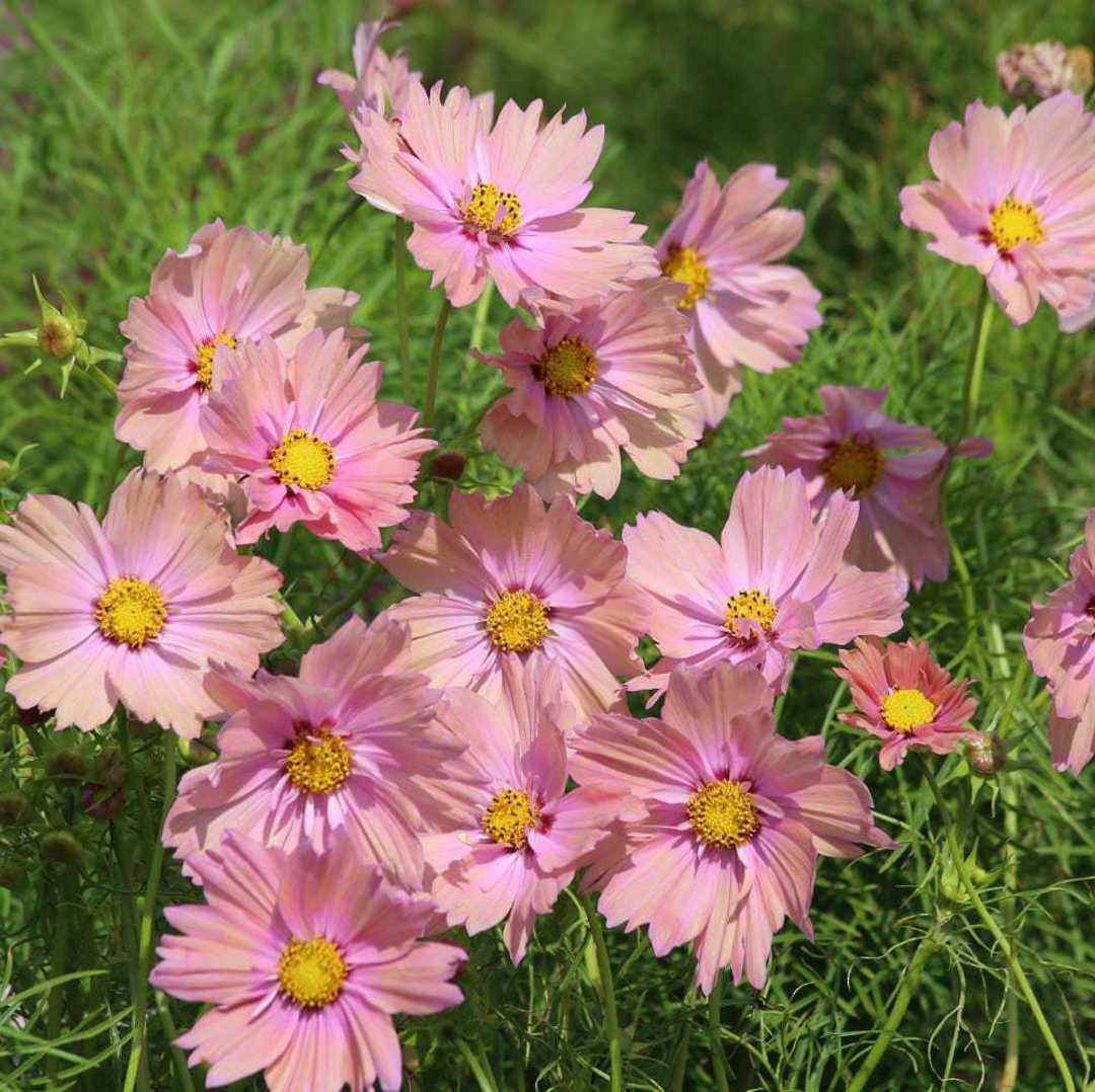 Cosmos Apricotta - large cupped blooms of Apricot Peach