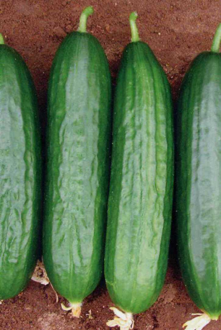Cucumber Lebanese Medici - Juicy mid green fruit laid out on ground
