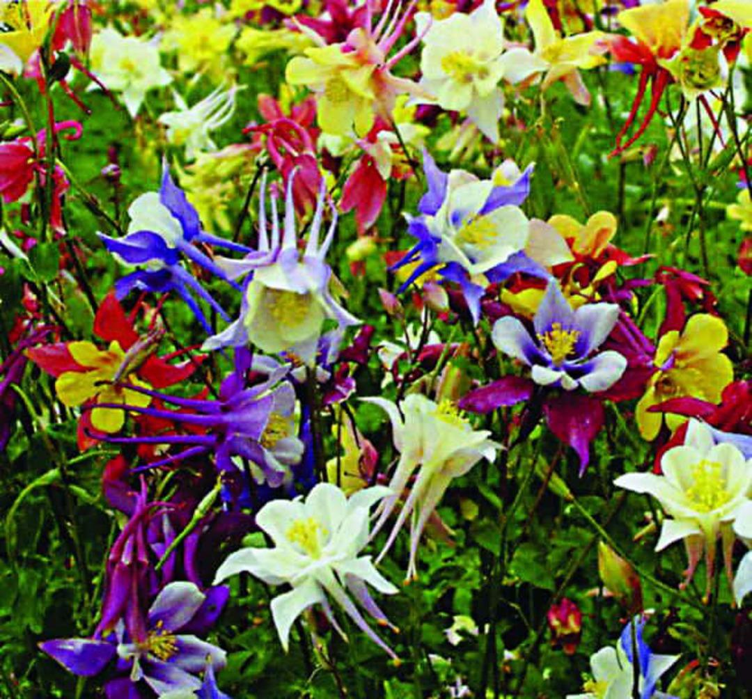 Aquilegia Shady Garden Scatter - Whites, Pinks, Blues, Yellows, Blacks, Bicolour