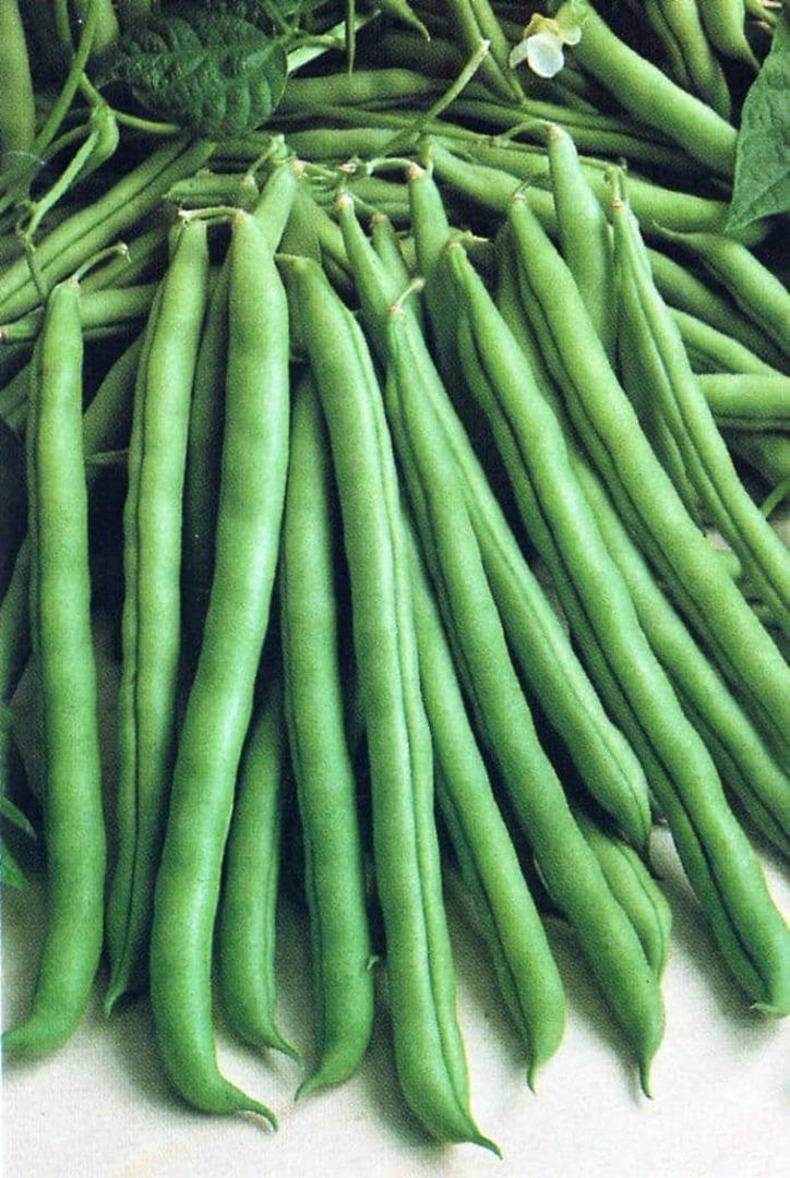 Organic Bean Cobra Runner - dark runner bean with long round pods