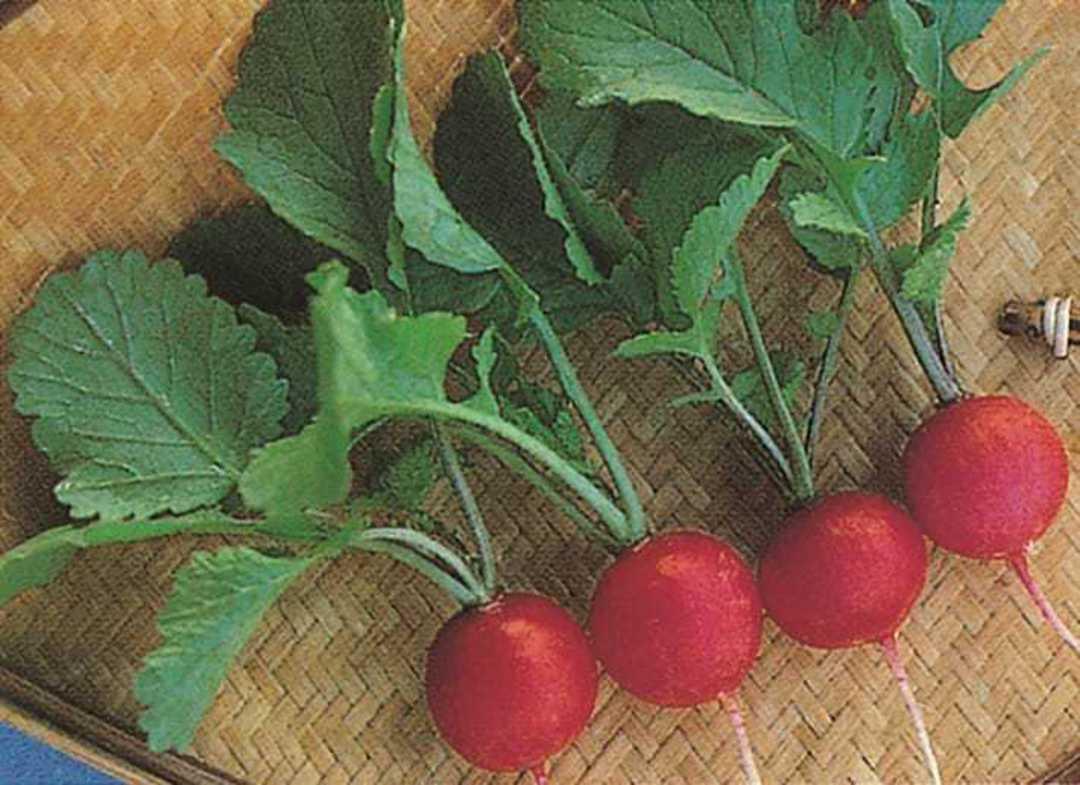 Organic Radish Cherrybelle - bright scarlet round radish