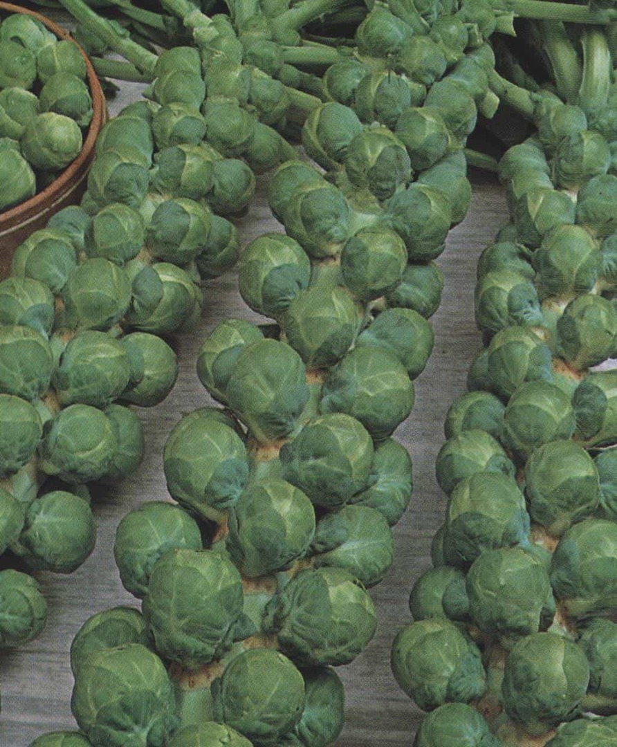 Organic Brussels Sprouts Igor -  tightly wrapped dark green buds harvested
