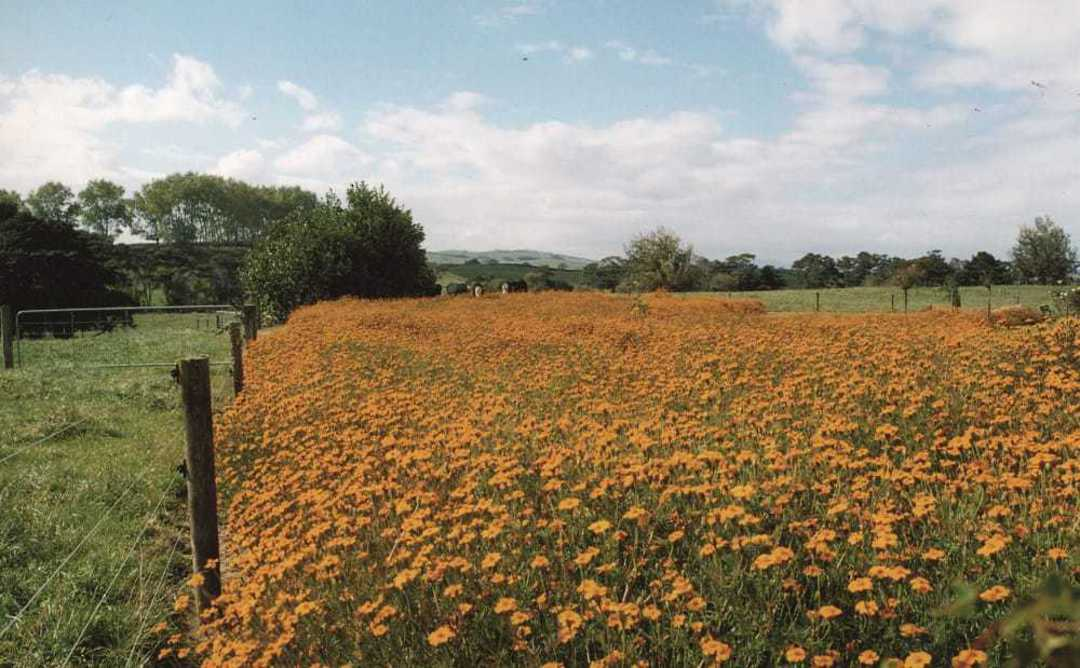 Marigold - field of lovely flowers