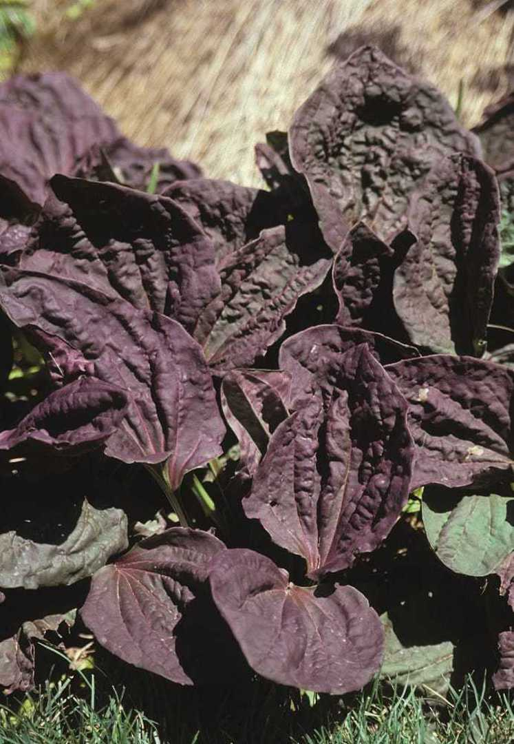 Plantain - clump of strong purple red leaves, easy to grow