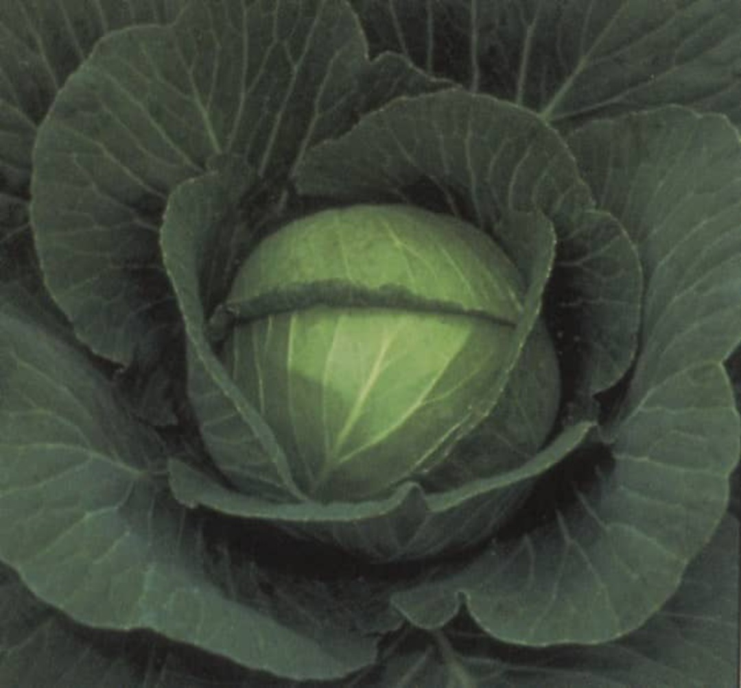 Cabbage Space Saver Crisp dark green outer leaves cover a firm round head