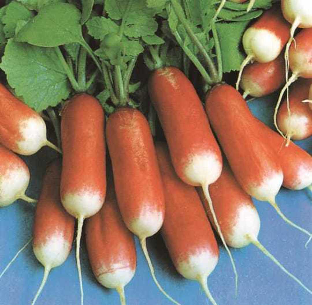 Organic Radish French Breakfast  - sausage shaped red radish