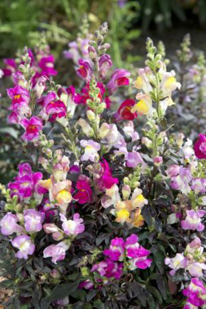 Antirrhinum Twilight Mix - various shades of Rose, Pink and Yellow