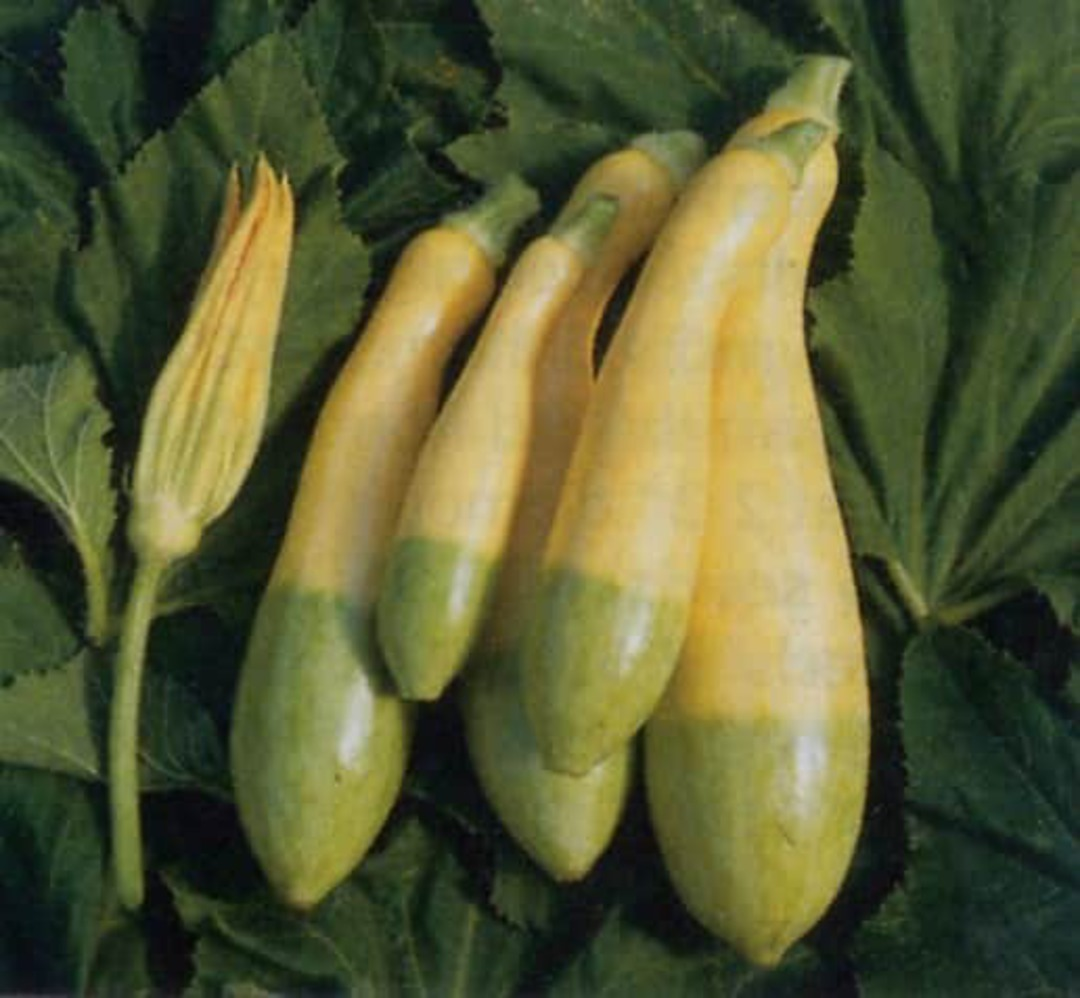 Zucchini Zephyr F1 - Yellow-green bi-colour.