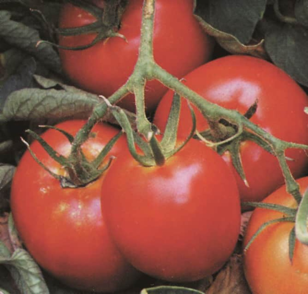 Tomato Sub Arctic Plenty - clusters of small, good flavoured, red fruit