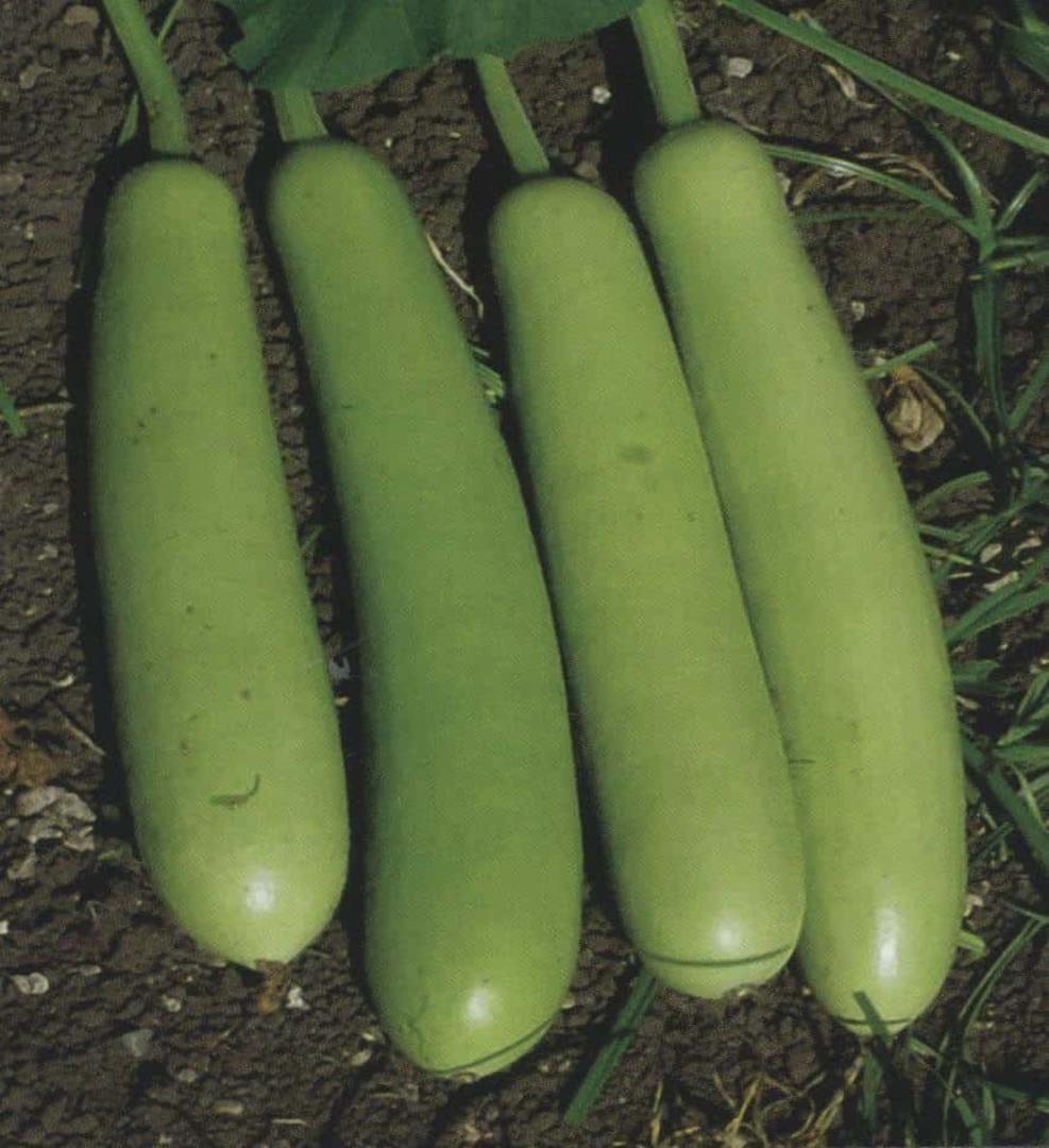 Gourd Asian Loki - green cylindrical gourd