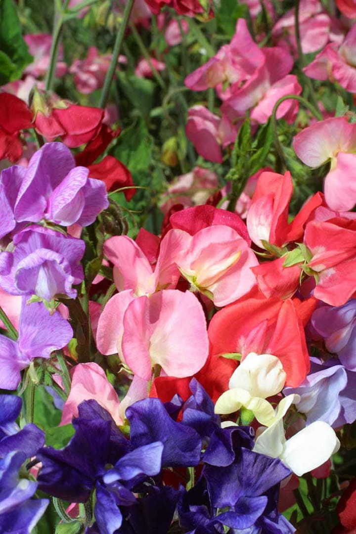 Sweet Pea Mammoth Choice Mix - Large flowers, long stems