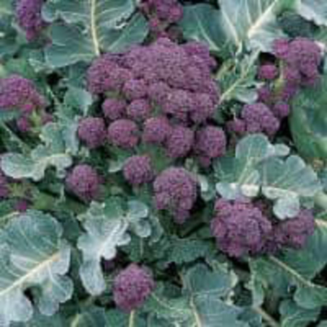 Broccoli Sprouting Winter Rudolph - Beautiful deep purple florets on good sized green stems