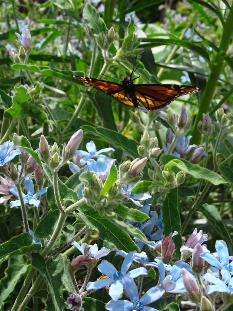 Tweedia Heavenly Blue image 0