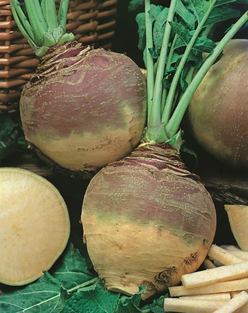 Swede Champion Purple Top - cream coloured root with bright purple top
