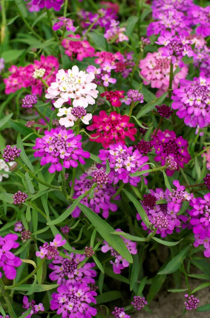 Candytuft Flash mixed -  shades of Lilac, Purple, White, Rose, Pink
