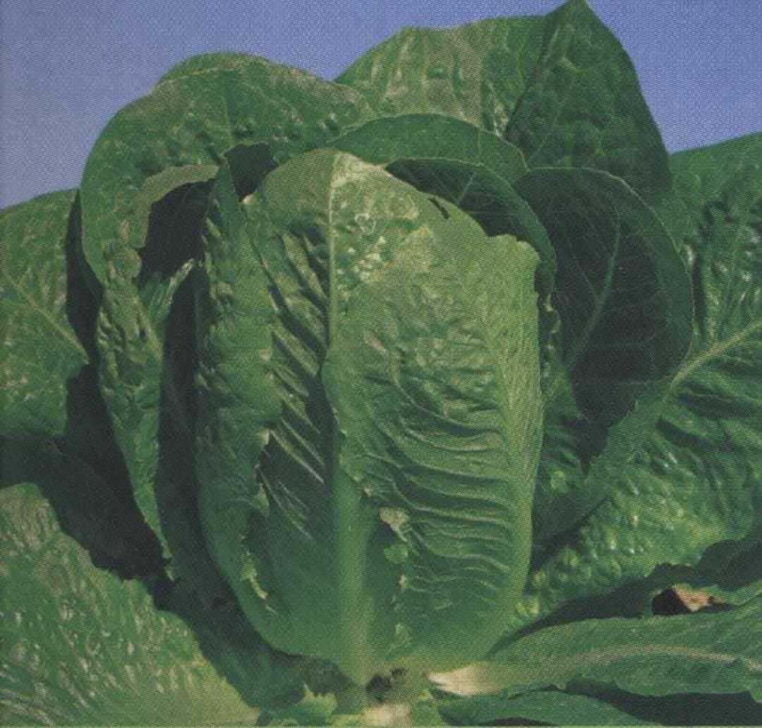 Organic Lettuce Parris Island Cos - Upright self-folding conical head