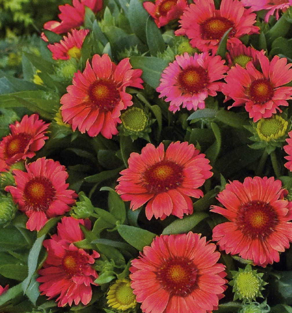 Gaillardia Arizona Reds - masses of Crimson Red blossom