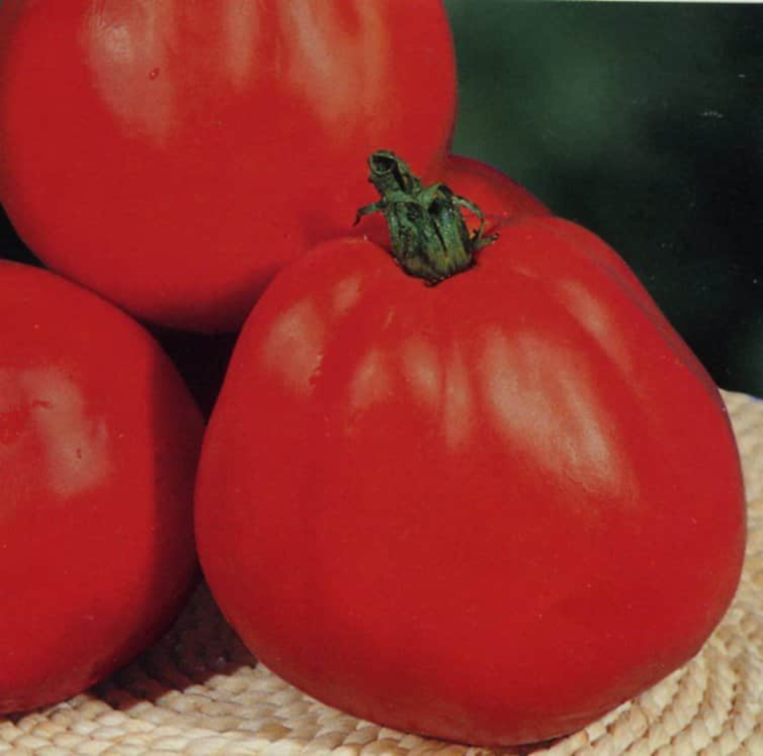 Tomato Albenga Oxheart - red with  large pear shape