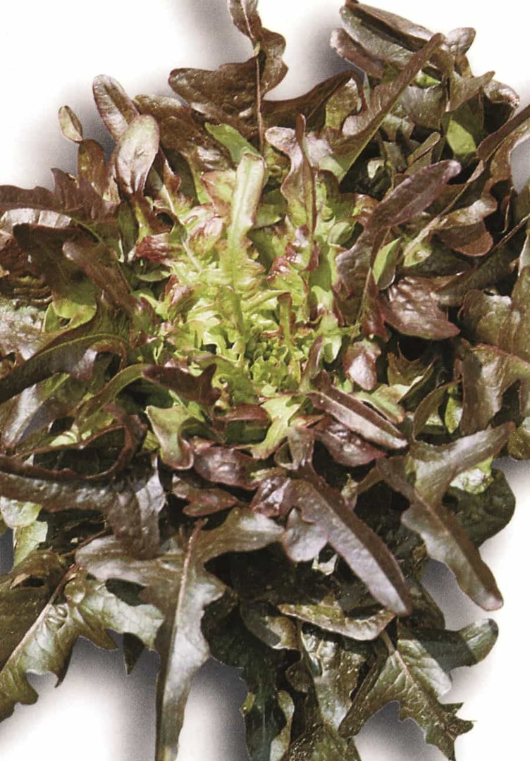 Lettuce Cocarde - large, upright, trumpet shaped heads