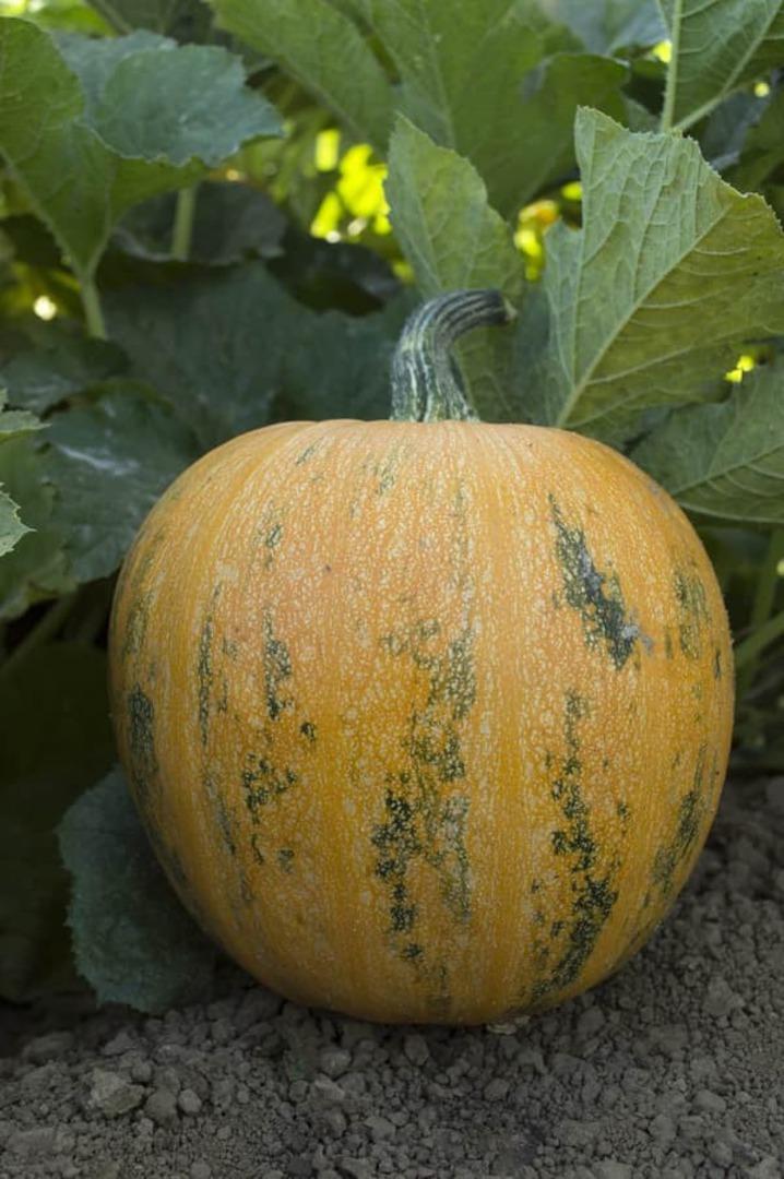 Pumpkin Lady Godiva -  yellow orange skin with vertical green zones