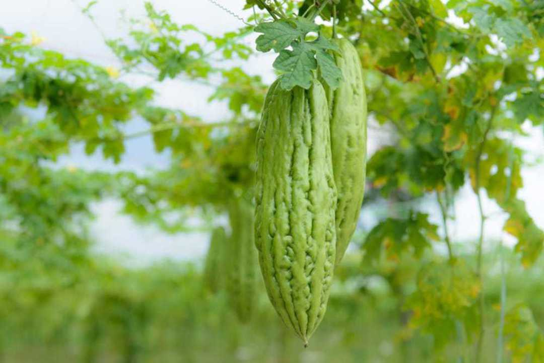 Melon Bitter Vanguard - smooth green skinned bitter gourd