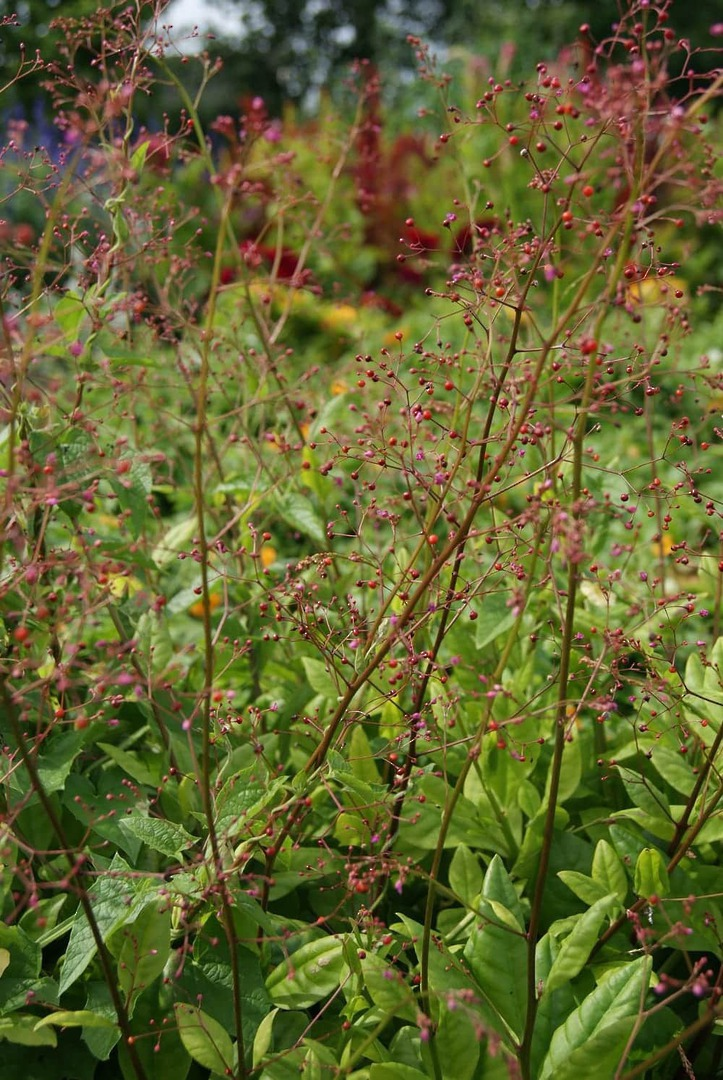 Talinum Jewels of Opar - tiny Mauve Pink flowers