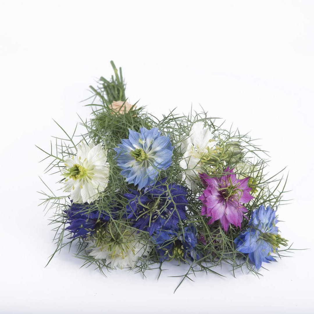 Nigella Love in a Mist - shades of Blue, Rose, Pink and White