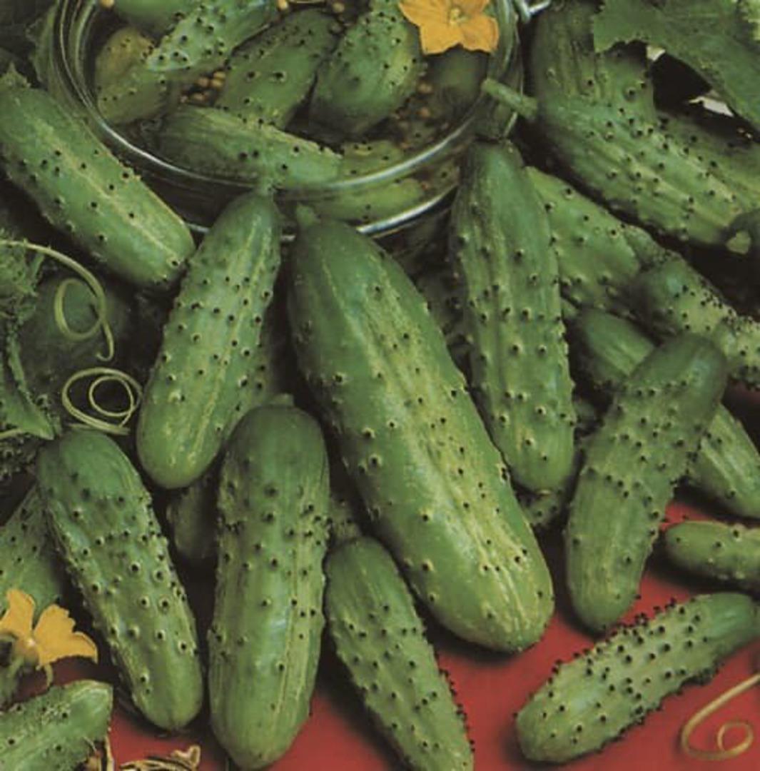 Cucumber Homemade Pickles - Large harvest of medium sized bumpy fruit