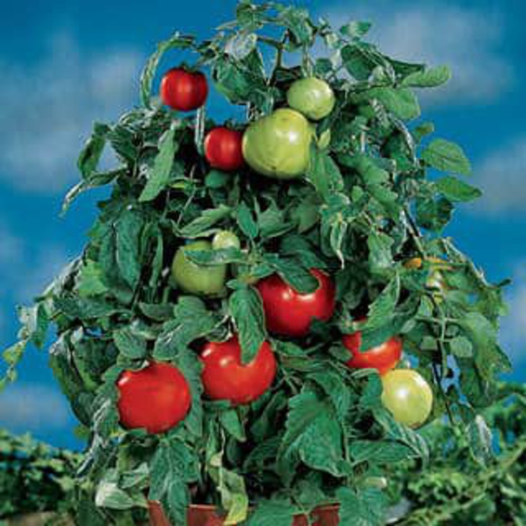 Tomato Container Choice Red F1 - large 150-200g red tomatoes