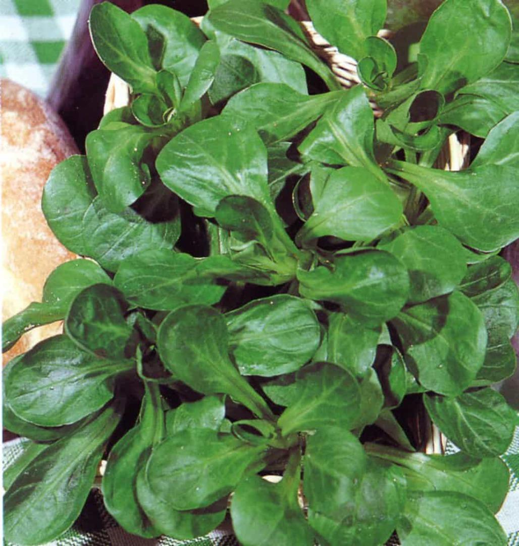 Corn Salad Verte de Cambrai - Harvested dark leafy foilage