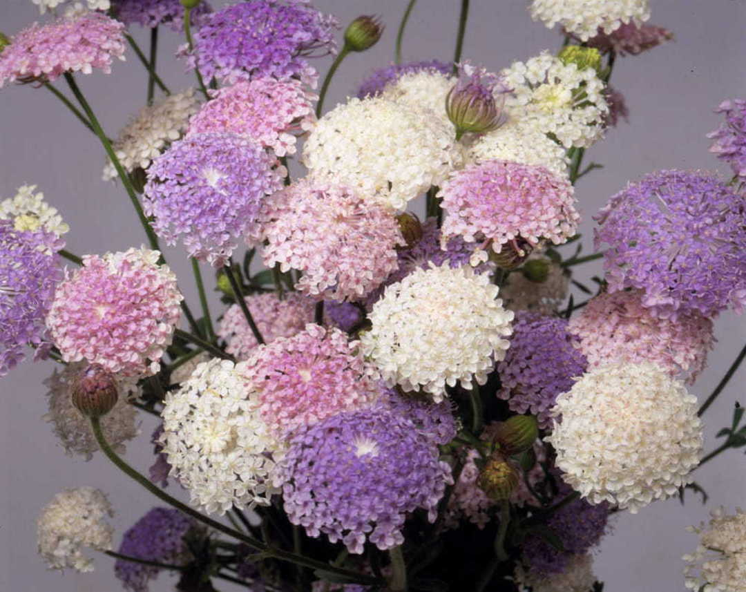 Didiscus Lace Mix - Beautiful and graceful Lace Flowers
