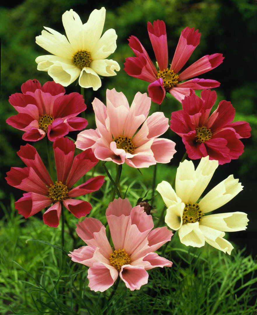 Cosmos Sea Shells - fluted petals in an array of colours