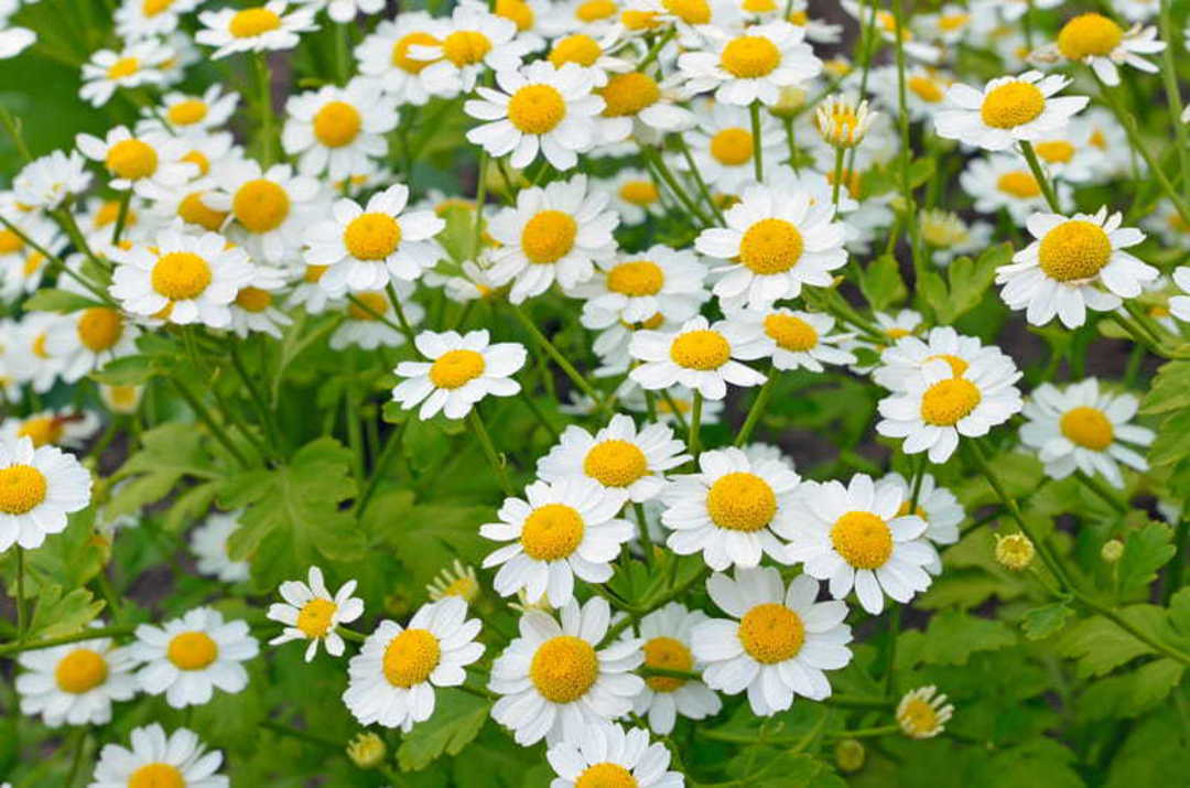 Feverfew - light green foliage and clusters of single white flowers
