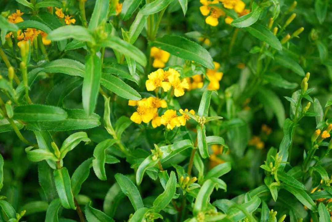 Tarragon Texas - Golden yellow flowers in flat-topped clusters
