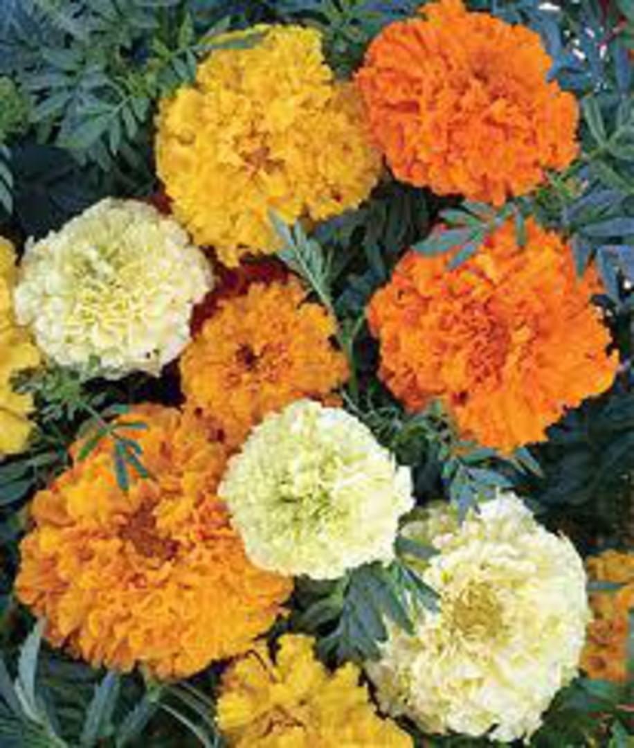Marigold Sugar & Spice -  bright Yellow, Gold, White and Orange blooms