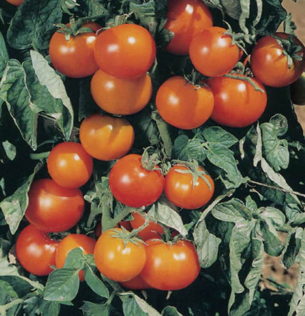 Tomato Orange Cherry F1 - sweet flavoured orange cherry tomato