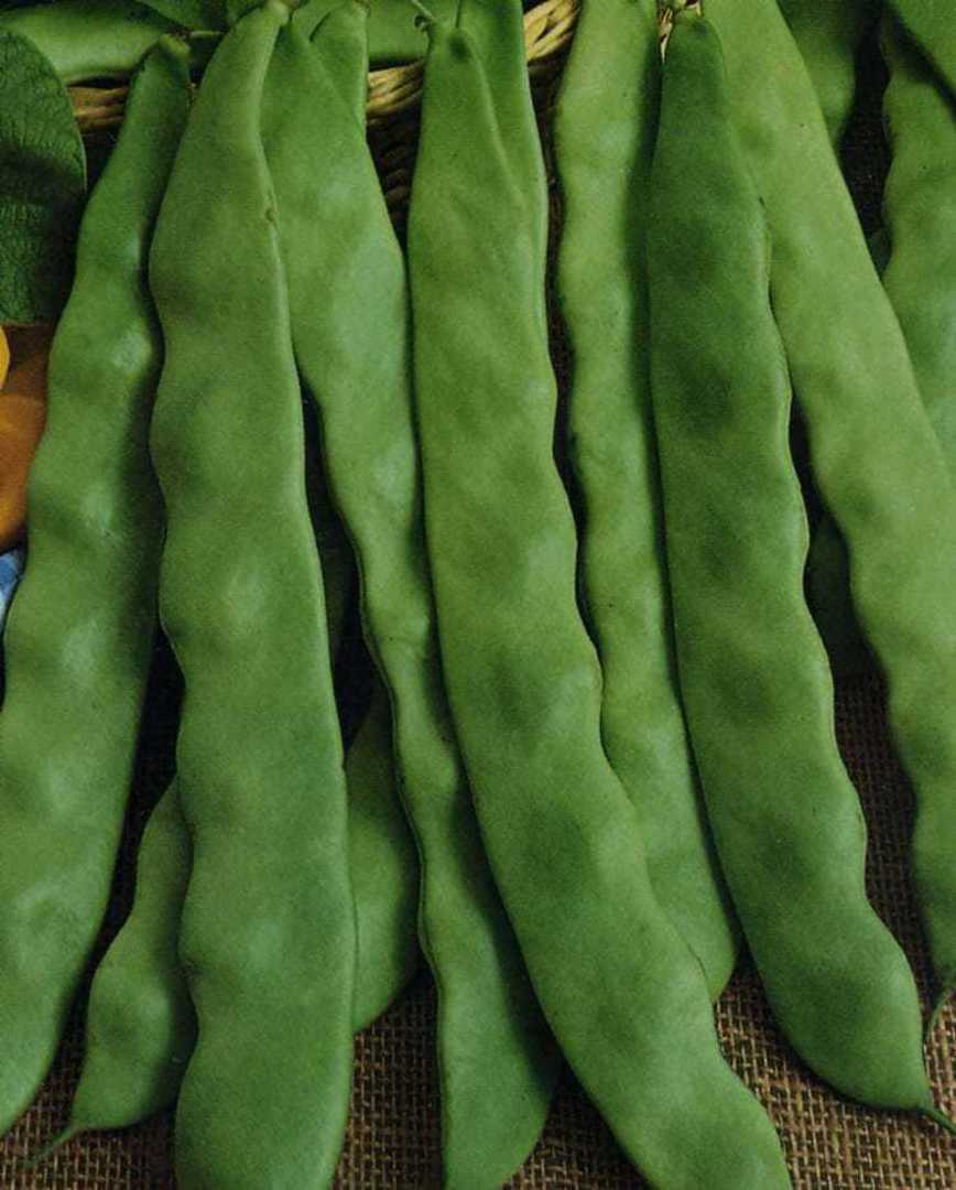 Bean Italian Flat Runner - light green broad bean pods