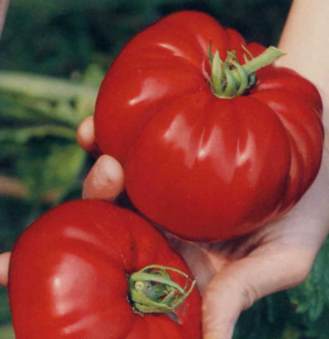 Tomato Boy O Boy F1 - tasty beefsteak style tomato
