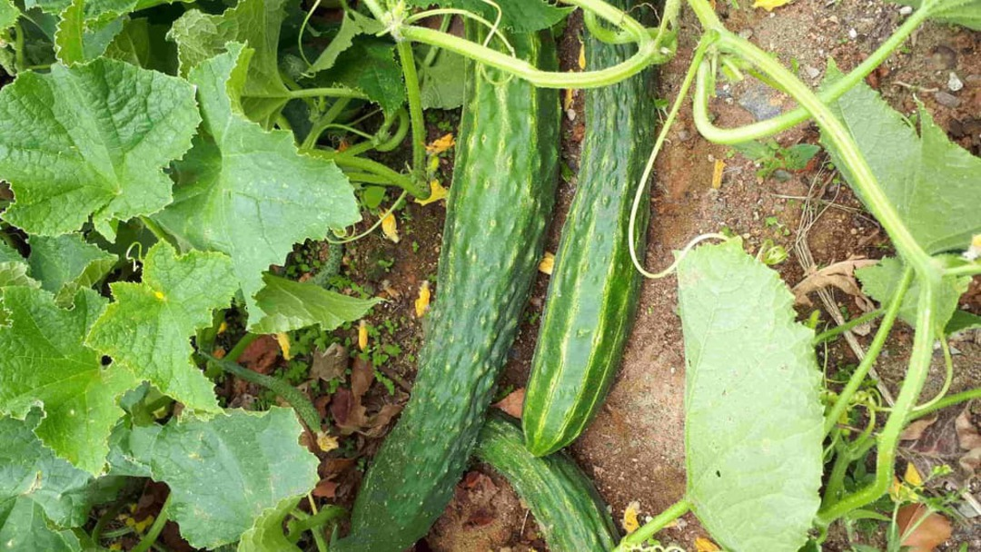 Cucumber Oriental Soo Yoh - Dark green, high-spined and ribbed fruit growing in garden