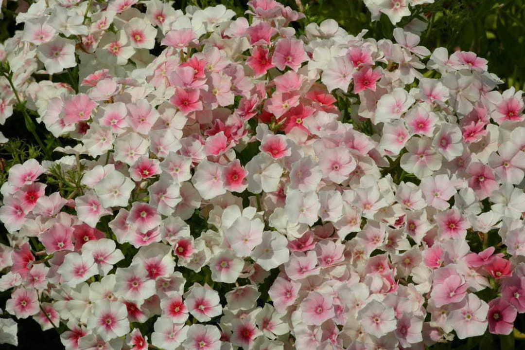Phlox Blushing Bride - clusters of white flowers