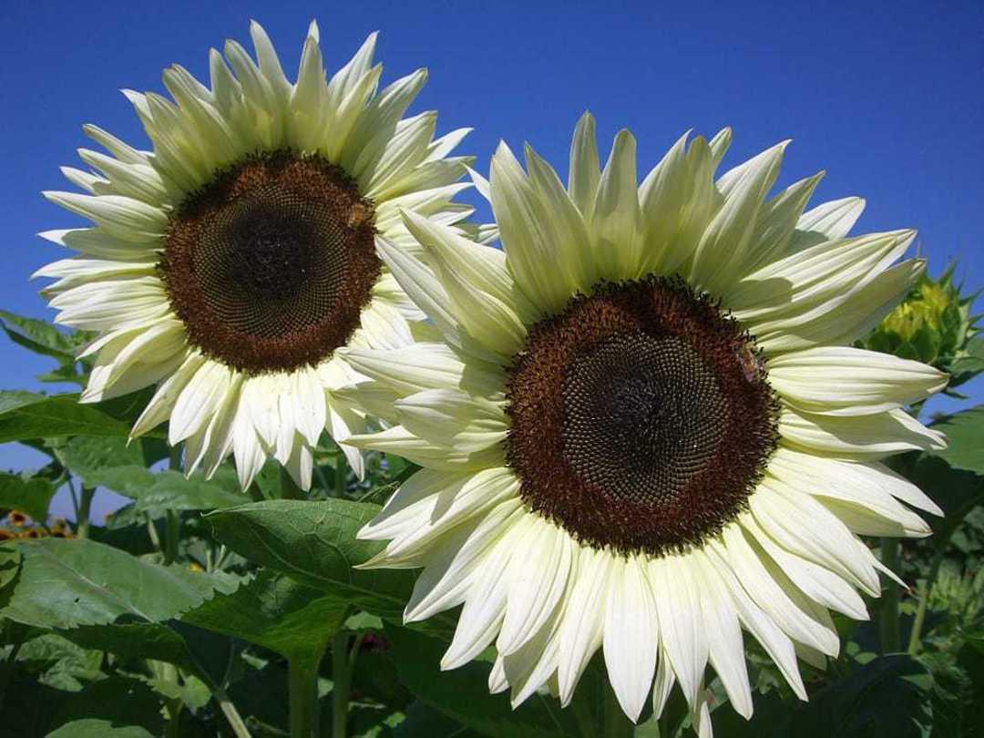 Sunflower Pro Cut White Nite F1 - Uniquely different Creamy Vanilla single