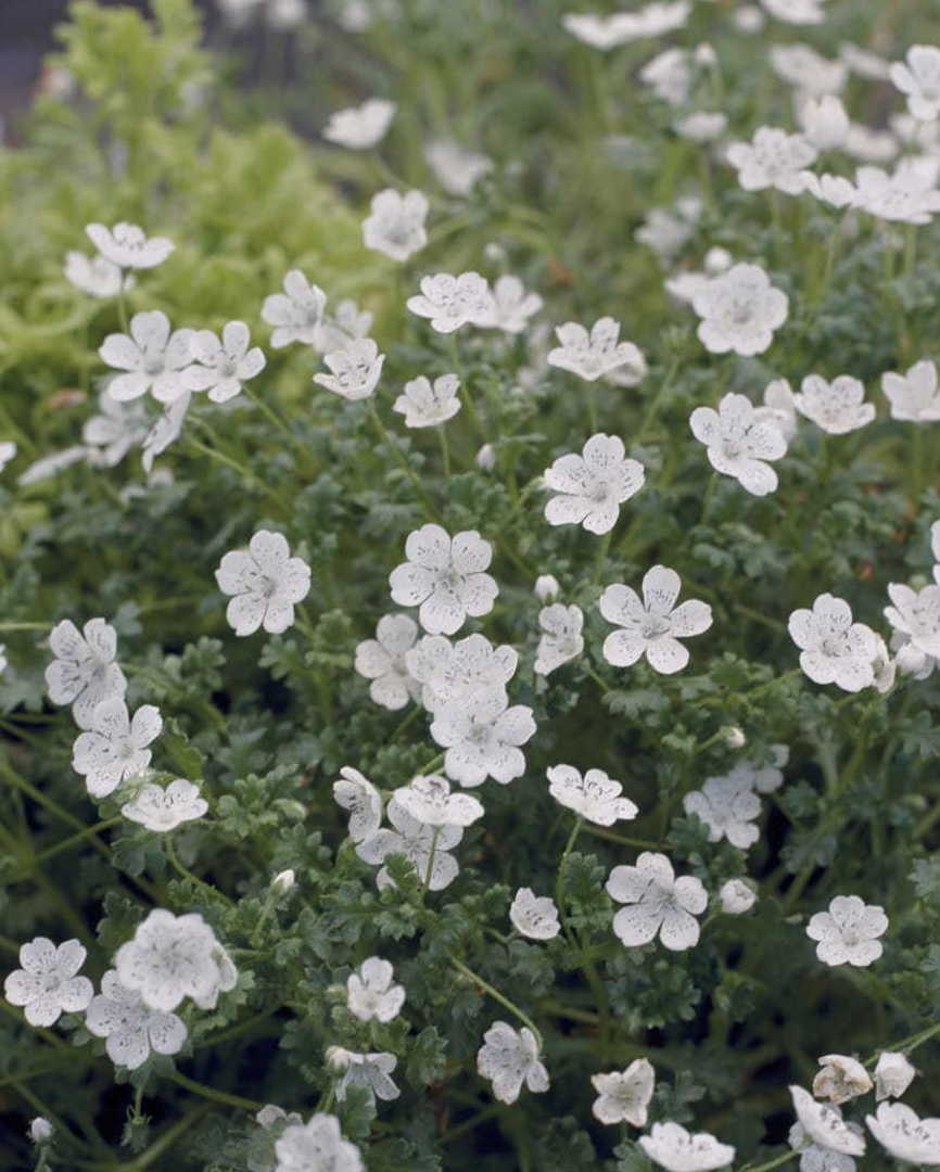 Nemophila Snowstorm - sophisticated pure White flower