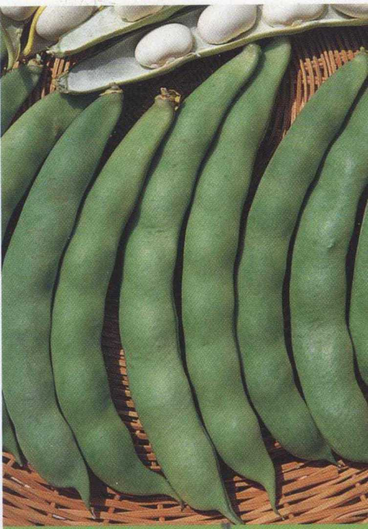 Bean Coco White Dwarf - oval shaped and flattened white beans