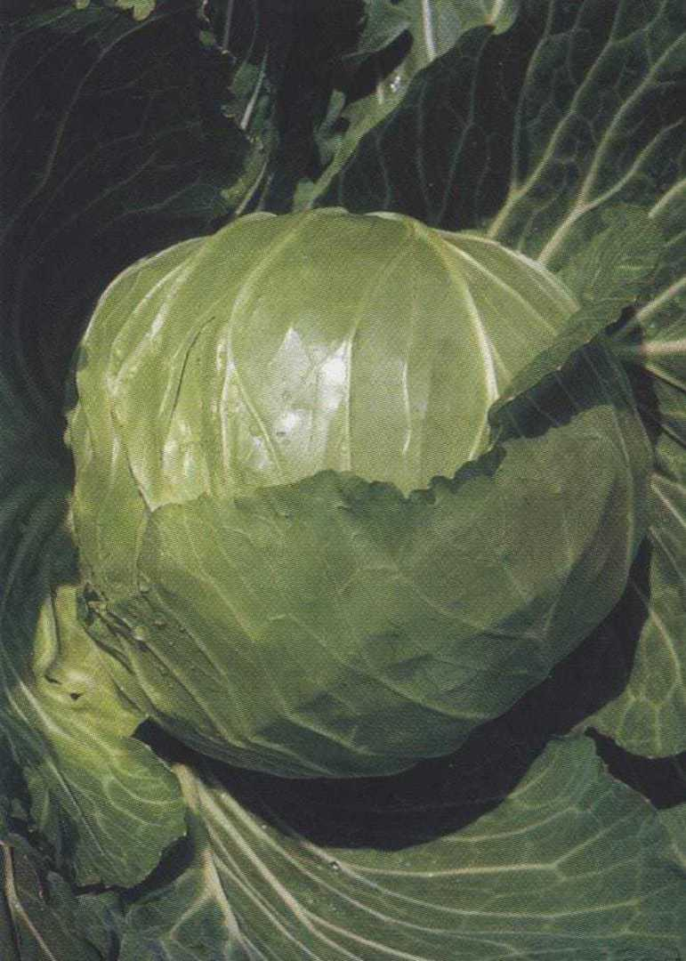 Organic Cabbage Green Express - early cabbage with a tightly packed round head